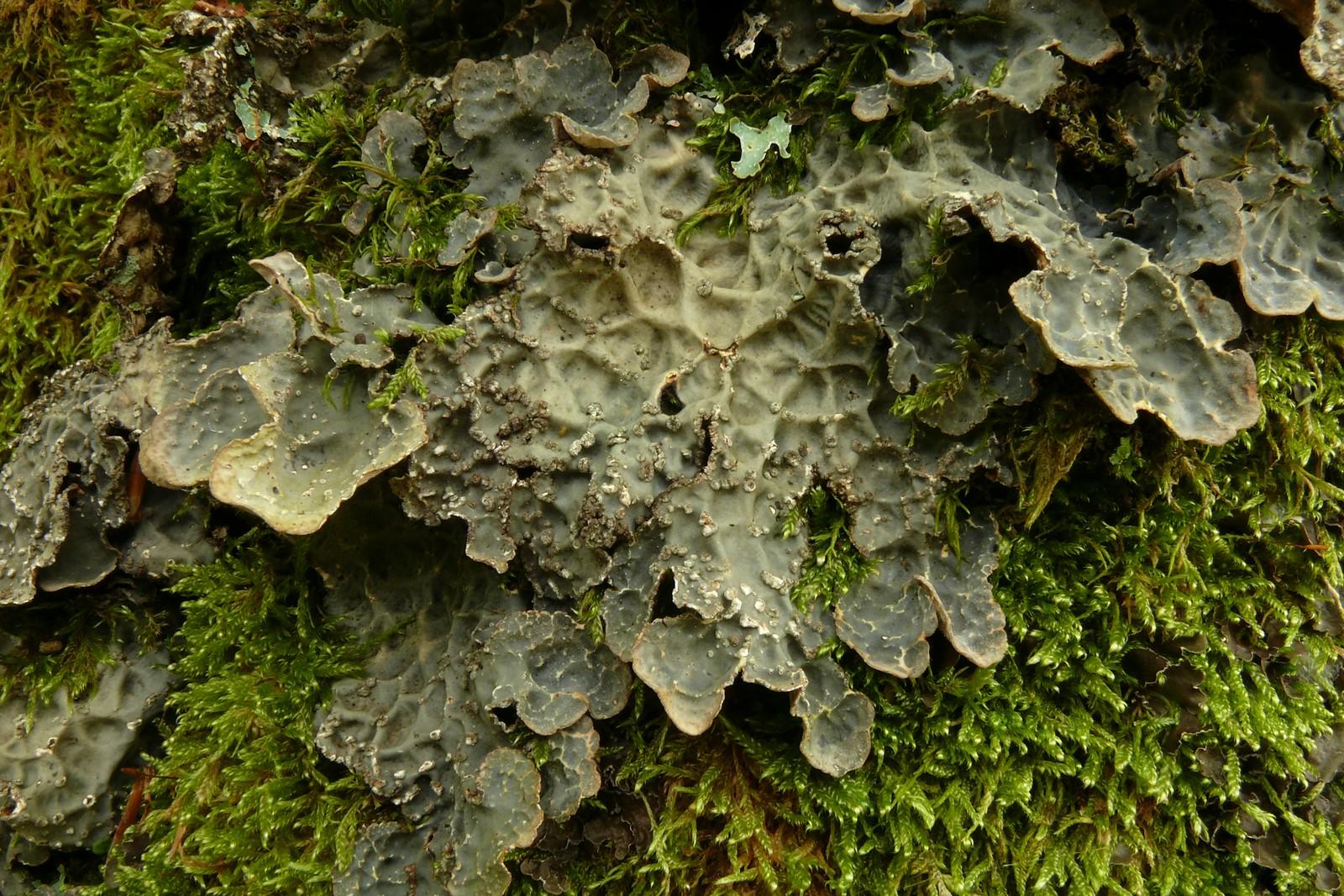 LobariaScobiculata-15-Riom-HêtraieChamilloux-20131009-01
