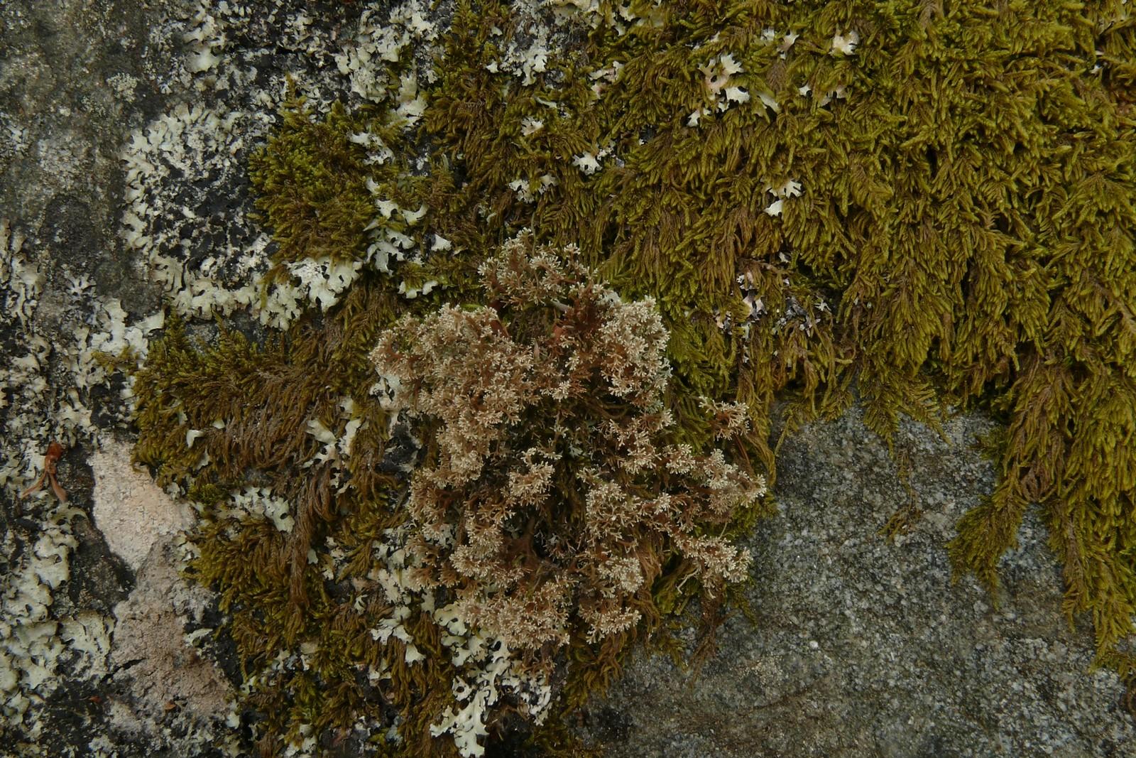 SphaerophorusGlobosus-20130707-63-PréDaval-01e