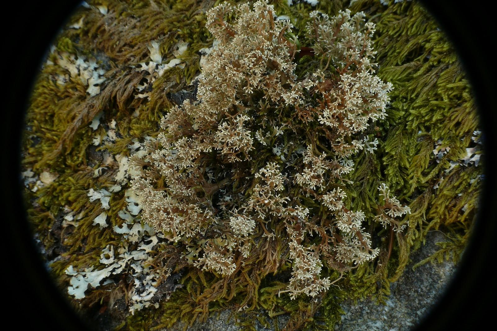 SphaerophorusGlobosus-20130707-63-PréDaval-04e