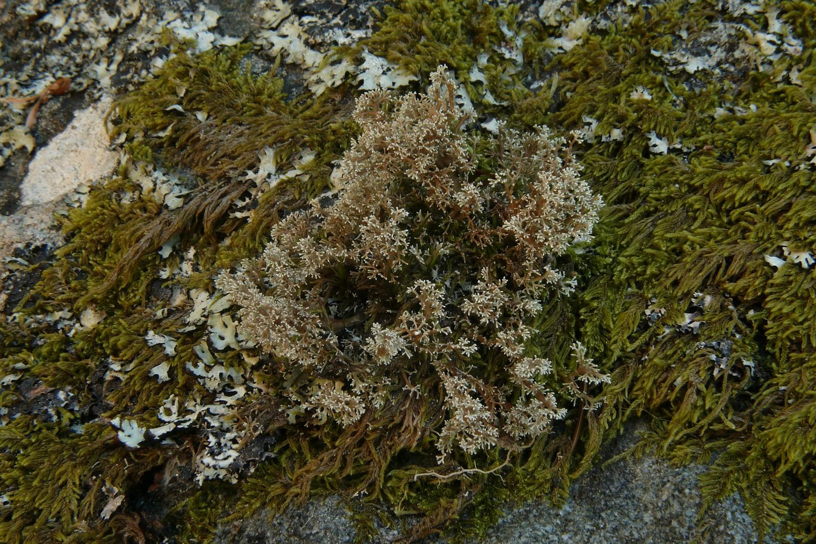 SphaerophorusGlobosus-20130707-63-PréDaval-05e